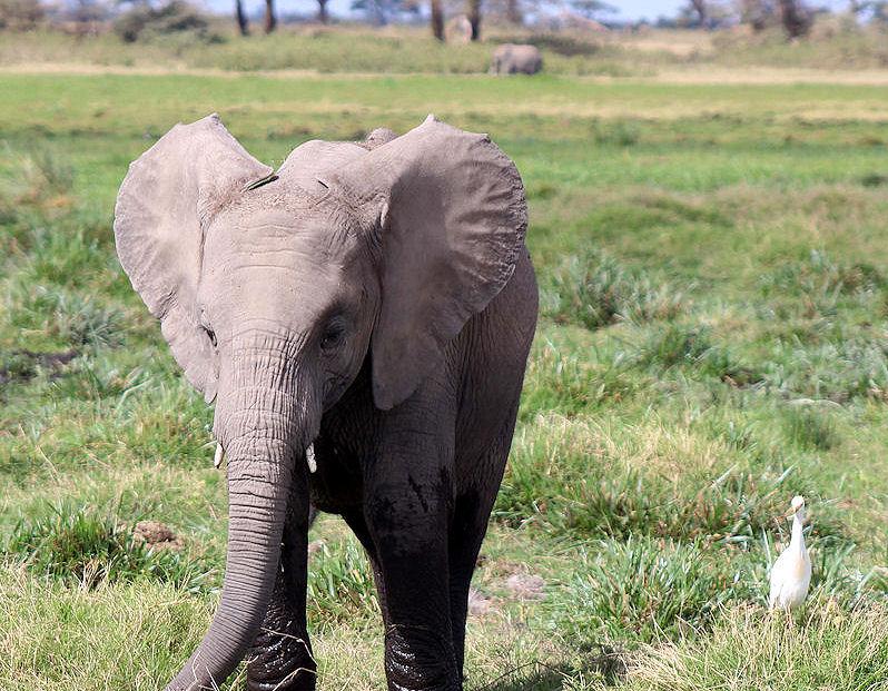 Amora the elephant